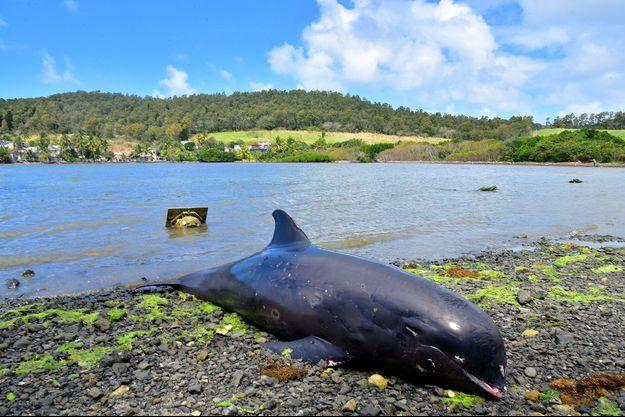 Un dauphin échoué sur les côtes de l'île Maurice, à Grand Sable.