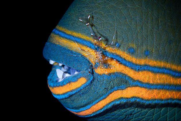 Un poisson baliste (image d'illustration).