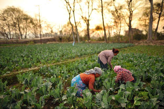 Des femmes dans des champs à Bhaktapur au Nepal.