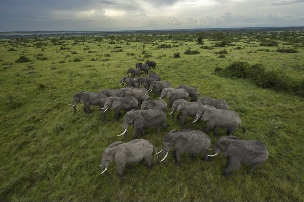 Dans le Parc national Queen Elizabeth, en Ouganda, classé réserve de biosphère par l'Unesco, les éléphants peuvent espérer vivre tranquilles.