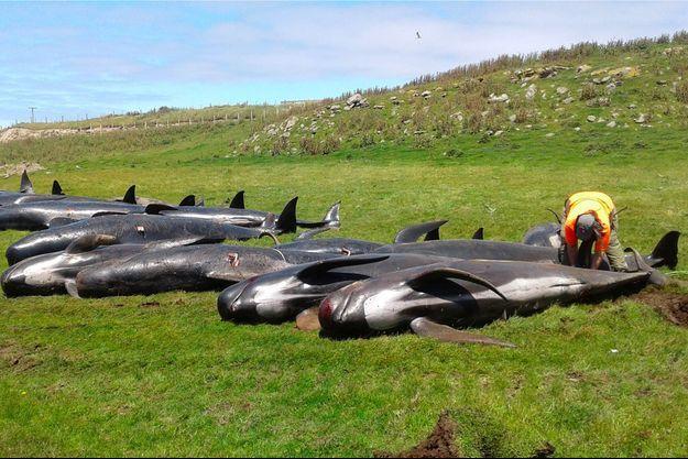 Des dauphins-pilotes échoués sur l'île de Chatham.