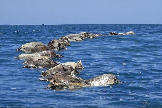 Des tortues mortes coincées dans un filet de pêche dans les eaux mexicaines du Pacifique.