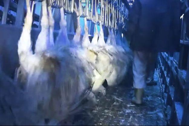 Des dindes suspendues dans l'abattoir de Blancafort (Cher).