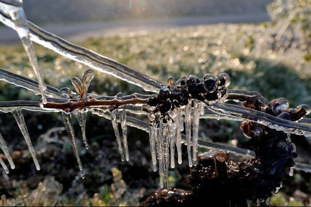 Des vignes gelées à Chablis.