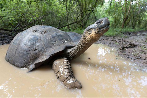 Une tortue de l'espèce Chelonoidis.