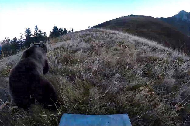 Une ours dans les Pyrénées.
