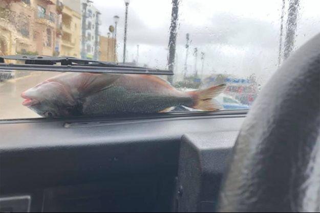 Un poisson sur le pare-brise d'un automobiliste. Moment immortalisé ce week-end à Malte.