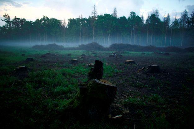 Des arbres coupés dans la forêt de Bialowiez.