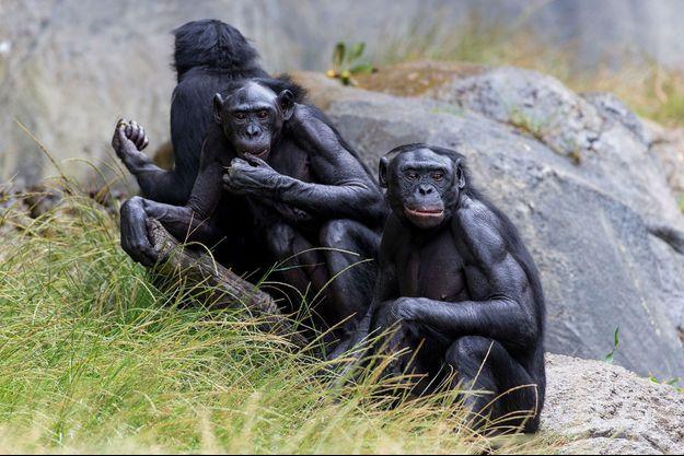Un groupe de bonobos qui a reçu le vaccin au zoo de San Diego, ici sur une photographie de 2018.