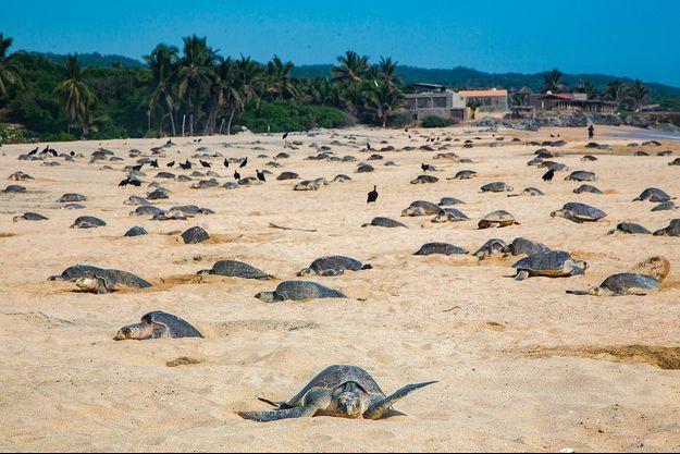 Des tortues de mer au Mexique.