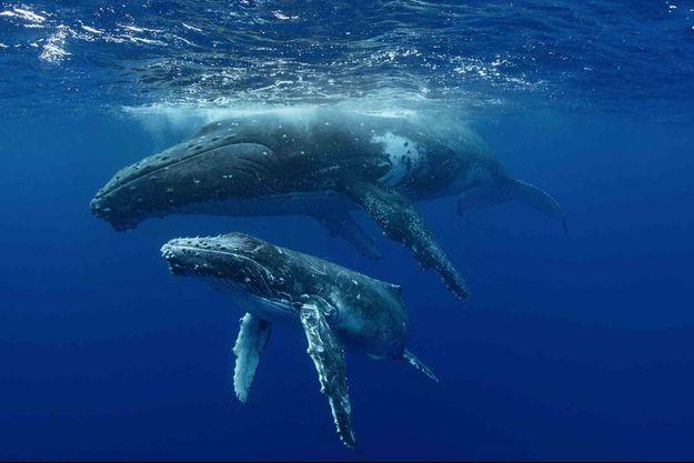 Des baleines à bosses.