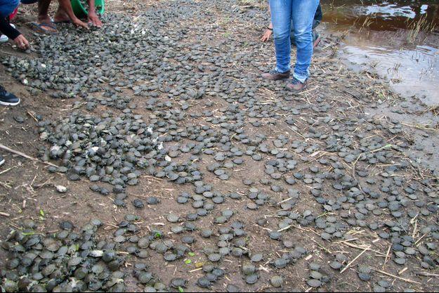 Ce week-end, 17 000 tortues Taricaya ont été libérées