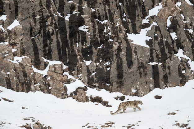 Près d'un col, à plus de 5 000 mètres d'altitude. Solitaire, la panthère (ou léopard) des neiges peut parcourir 20 kilomètres par jour.
