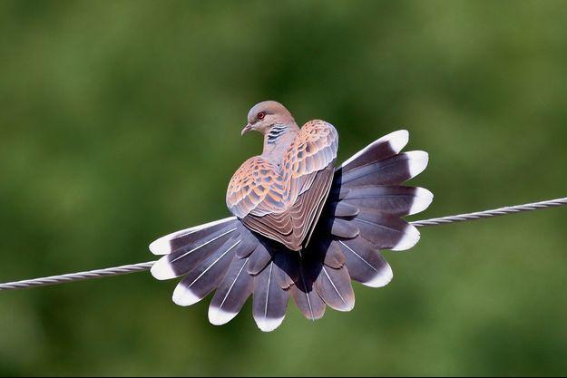 Classée vulnérable sur la liste rouge de l'Union internationale pour la conservation de la nature (UICN), la tourterelle des bois a vu sa population chuter de 80 % en Europe ces quarante dernières années.
