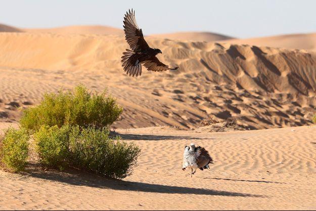 Photo d'illustration d'une chasse au faucon d'outarde houbara, aux Emirats arabes unis en décembre 2017.