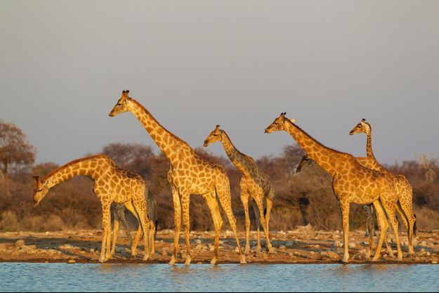 Un troupe de girafes en Namibie (photo d'illustration).