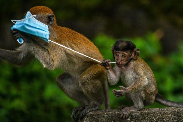 Des macaques grignotent un masque chirurgical en Malaisie.
