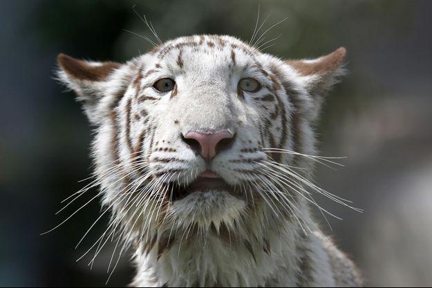 Une tigre blanc du Bengal, au Pérou.