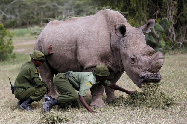 Sudan, rhinocéros blanc du Nord.