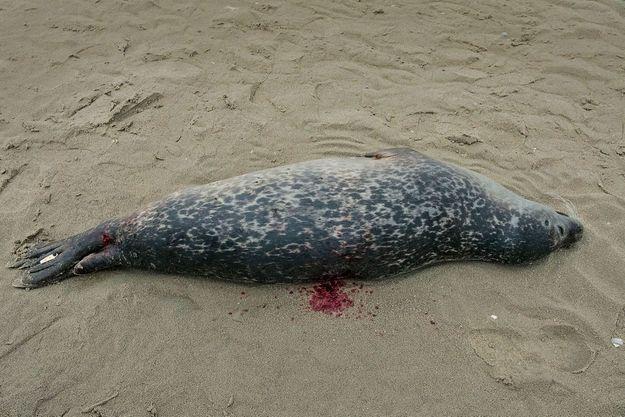 Un veau marin retrouvé mort dans la baie de Canche, dans le Pas-de-Calais. Le trou sur son dos pourrait avoir été causé par les gaffes utilisées par les marins.
