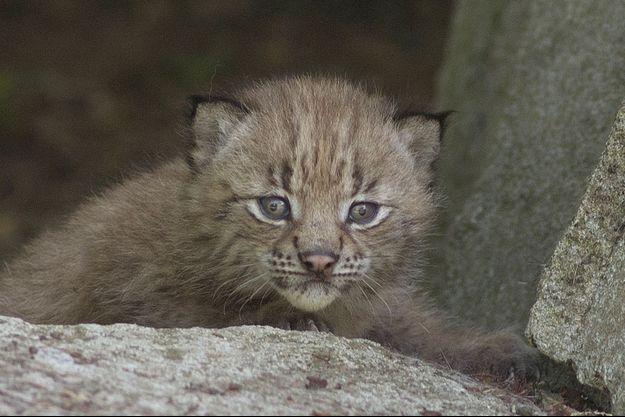 Un des petits lynx, né au Parc zoologique de Paris.