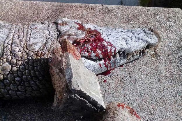 Le crocodile est mort sous les jets de pierres.