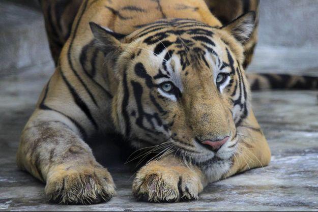 Un tigre du Bengale.