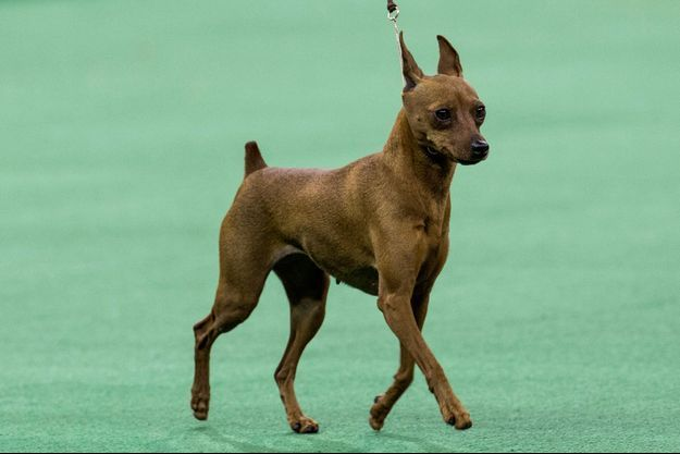 Illustration d'un Pinscher.