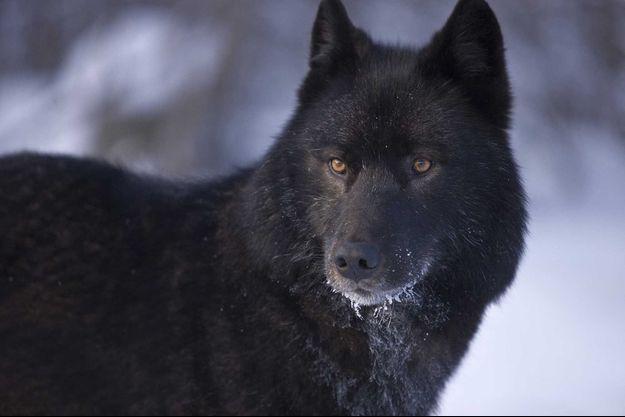 Un loup noir.