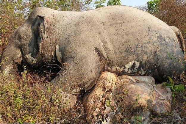 Cette photo publiée par le ministère de l'Environnement du Cambodge montre le corps d'un éléphant mort dans la province de Mondulkiri.