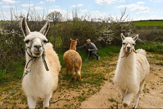 Illustration de lamas.
