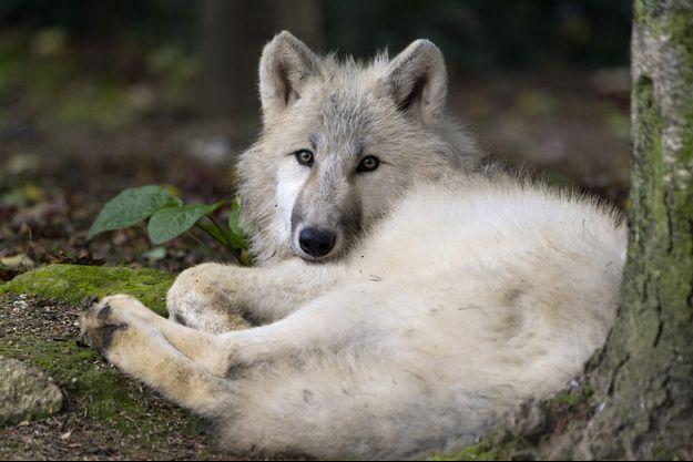 Illustration d'un loup dans le zoo d'Amneville.
