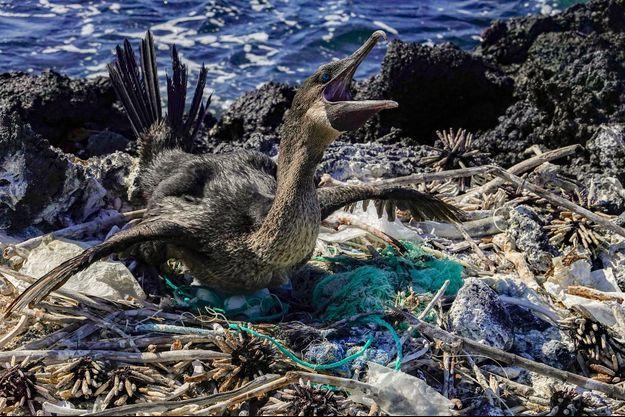 Aux Galapagos, un Cormoran aptère a fait son nid avec des déchets plastique.