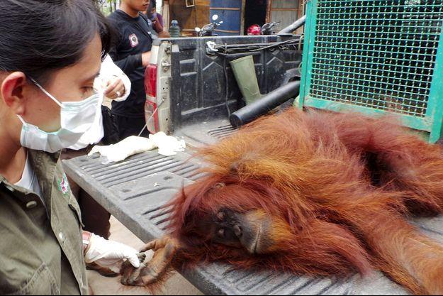 Un orang-outan de Bornéo.
