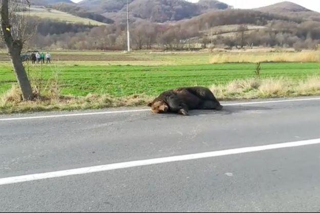 L'ours percuté par un véhicule à Praid.