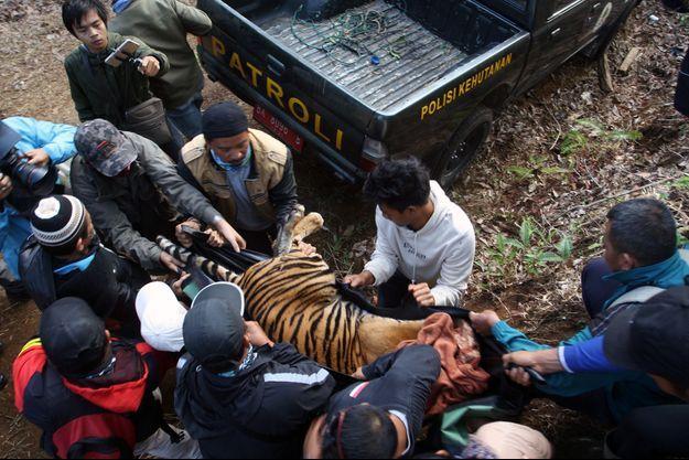 Le tigre tué par empoisonnement, à Sumatra.