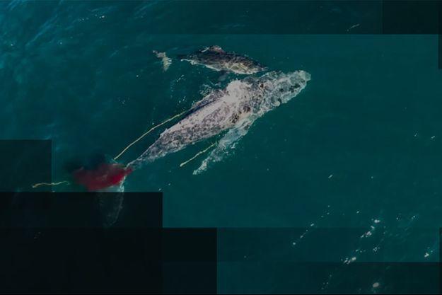 Le requin blanc à l'attaque.