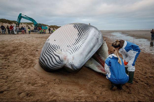 La baleine s'est échouée sur la plage du Coq en Belgique.