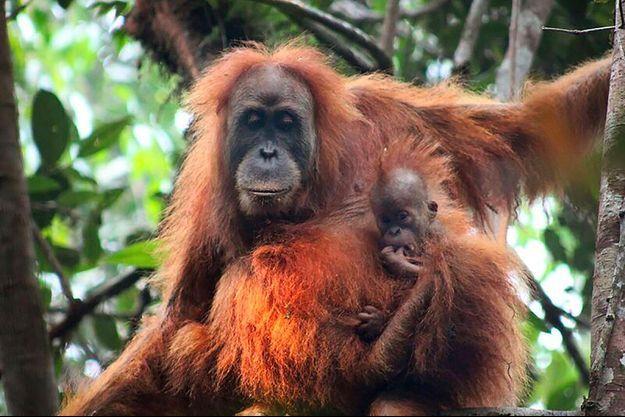 Un orang-outan Tapanuli, sur sa branche à Bornéo.