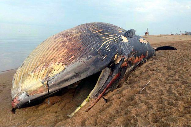 Le cadavre d'une baleine bleue gisant sur une plage du Koweit, en 2014.