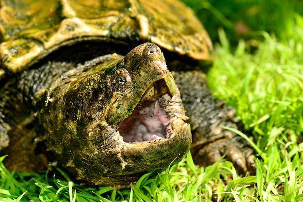 Tortue alligator.