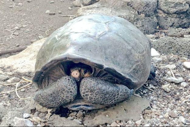 Le spécimen vivant d'une tortue géante que l'on pensait éteinte depuis plus d'un siècle a été découvert dans l'archipel équatorien.