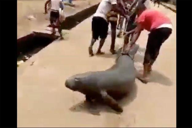 Le lamantin traîné au sol dans la vidéo.