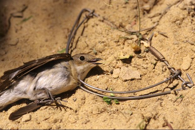 Illustration d'un piège à oiseau.