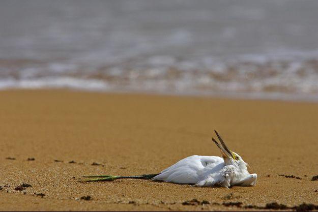 Un oiseau mort sur une plage du parc national de Morrocoy.