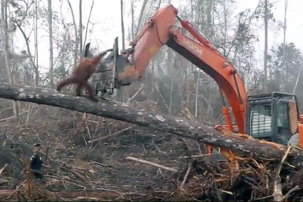Un orang-outan s'en prend à un bulldozer qui déforeste un forêt à Bornéo, en Indonésie.