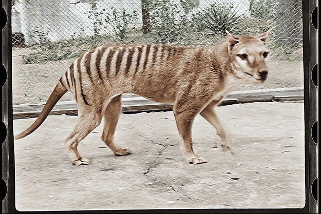 Un tigre de Tasmanie en 1933.