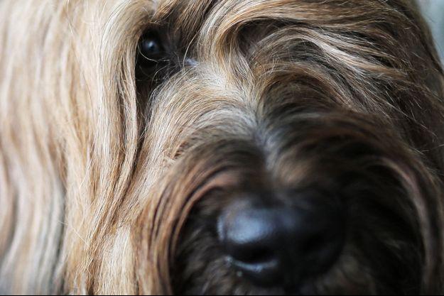 Un chien de race briard (Image d'illustration).