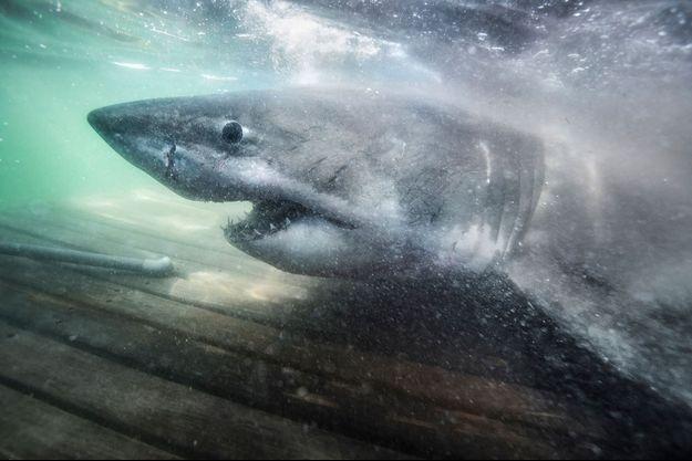 Un requin. (image d'illustration)