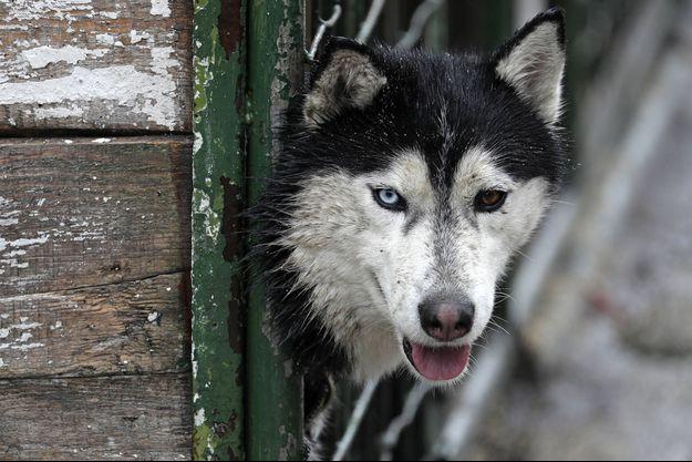 Un chien husky en Russie (image d'illustration).
